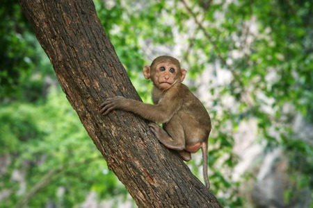 Young macaque sitting on a tree : Closeup
