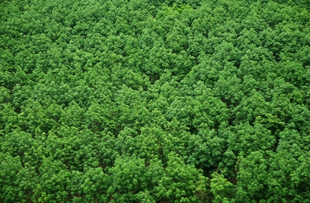 Top view of rubber tree and leaf plantation : Thailand