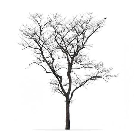Leafless tree isolated white background Standard-Bild