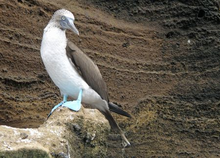 boobie: blue footed boobie in the Galapagos       Stock Photo