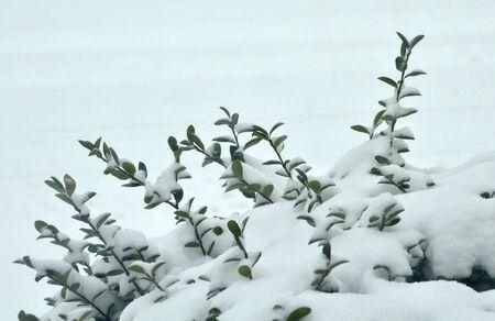 Snow on bush