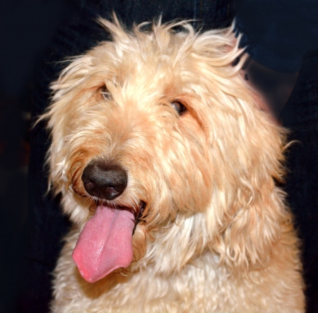 Goldendoodle dog enjoying attention and posing for a picture.