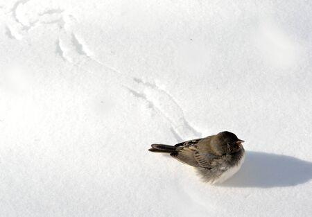 vogelspuren: Vogel auf Schnee mit einer Spur von Spuren.