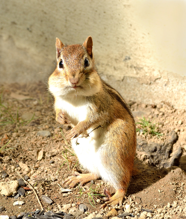 Closeup of a chipmunk as he is looking around after he came out of his hole