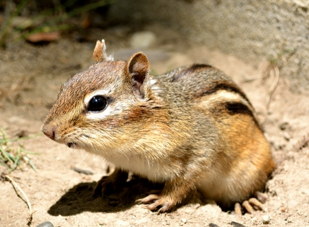 Closeup of a chipmunk as he came out of his hole.
