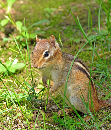 Closeup of a chipmunk as he is looking around after he came out of his hole.