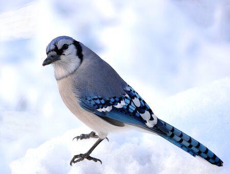 blue jay bird: Closeup of a blue jay standing on the snow.