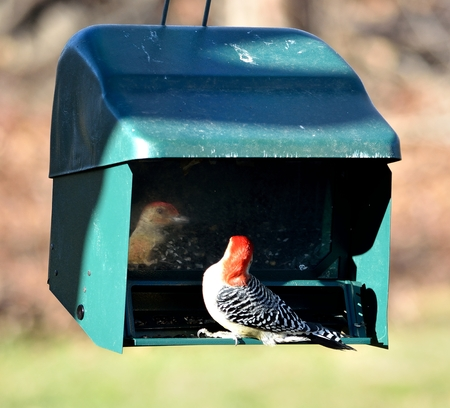 Red-bellied woodpecker at a feeder with his reflection.