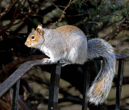 hand rail: Grey Squirrel standing on a hand rail.
