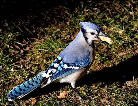 blue jay bird: A blue jay standing on grass with a peanut.