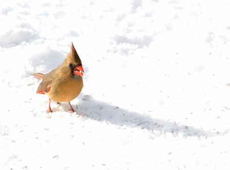 cardinal: Female northern cardinal standing on the snow.