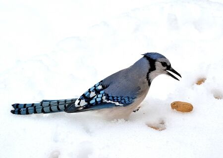 blue jay bird: Closeup of a blue jay standing on the snow looking at peanuts.