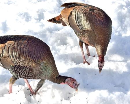 雪の上を食べる 2 つの野生のトム七面鳥のクローズ アップ。