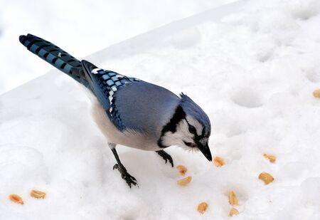 ブルー ・ ジェイ ・立っているピーナッツを見て雪の上のクローズ アップ。