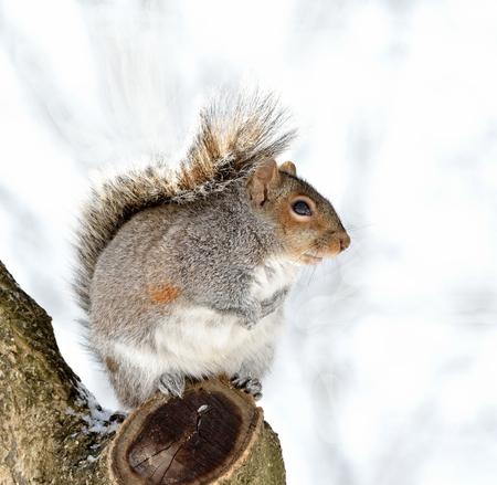 冬の日の木に座っている灰色リス。 写真素材