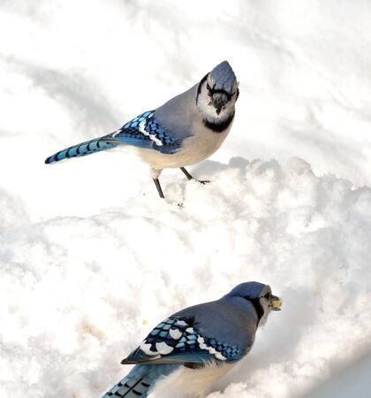 blue jay bird: Blue jay looking at another with a peanut standing on the snow.