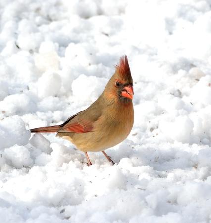 雪の上の女性北部カーディナル立っています。