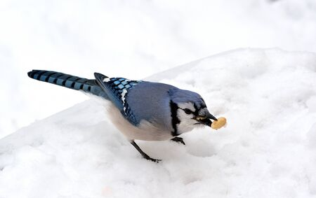 jay: Closeup of a blue jay with a peanut standing on the snow.