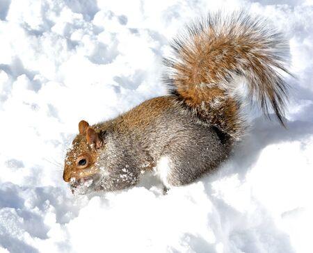 食べ物を探して雪の上灰色リスの立っています。