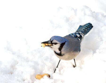雪の上にピーナッツ立ってアオカケスのクローズ アップ。