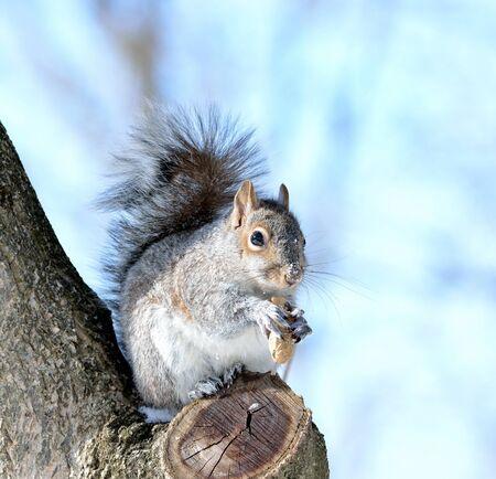 灰色リスのナットを食べる木に座っています。
