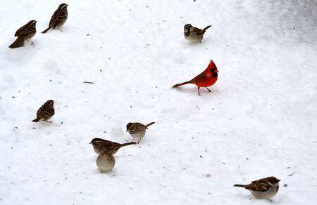 男性北部カーディナル立っている他の鳥に囲まれて雪の上。