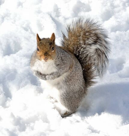 食べ物を求めて雪の上灰色リスの立っています。