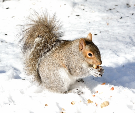 灰色リスのナットを食べること雪の上立っています。