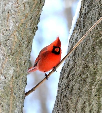 男性北部カーディナル立っている木の枝に。