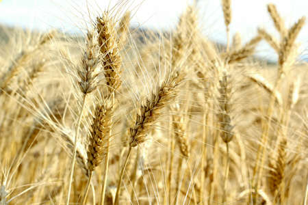 wheat land photo