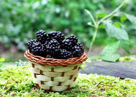 basket with fresh blackberry photo