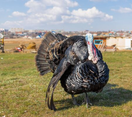 bright turkey of black color and a bright colored head. The turkey is guarding the area. free-moving turkey. the turkey has ruffled feathers. huge turkey