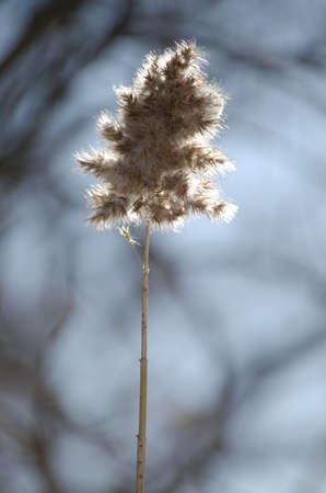 Detail of backlit marsh grass on blurred winter  photo