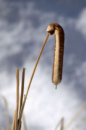 limp: Detail of single bent cattail on blurred winter background