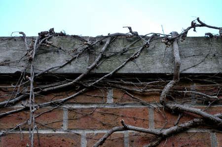 ivy wall: Straight view of brick wall with bare ivy vines climbing over the top against pale blue sky