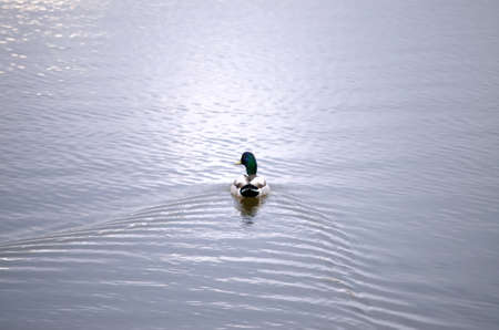 centered: Male mallard duck swimming away centered on horizontal frame