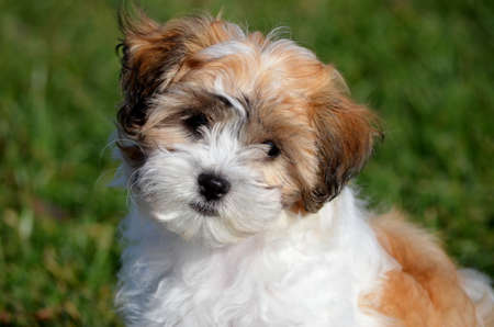cocked: Portrait of brown and white shichon puppy on blurred green grass background Stock Photo