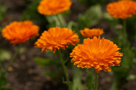 Soft orange marigolds on blurred green and brown background