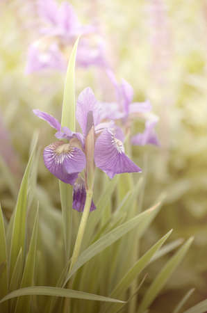 sepia toning: Purple bearded iris with light gradient and sepia toning