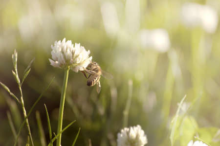 Detail of bee on white clover with low side light on blurred green grass background with light gradient and mild sepia toning.