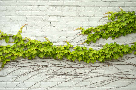 ivy wall: Green ivy on painted white brick wall