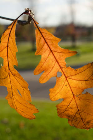 Two backlit orange oak leaves dangling from branch-vertical