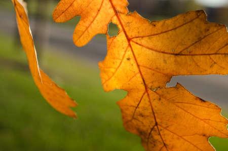 백라이트 오렌지 떡갈 나무 나뭇잎 매크로 스톡 콘텐츠