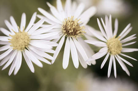 trio: Toned and desaturated daisy trio on blurred background