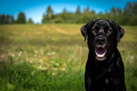 Beautiful head shot of black Labrador mix dog puppy on a bright blurred field background.