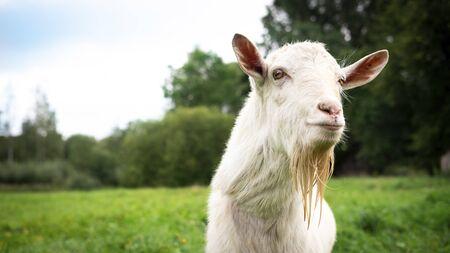 Retrato de un adulto macho blanco hermoso cabra en un fondo de campo de hierba verde de granja en un día de verano. De cerca, copie el espacio
