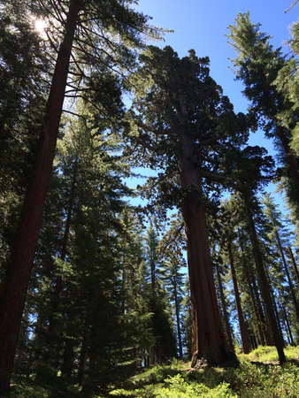 Sequoia Tree in Yosemite National Park photo