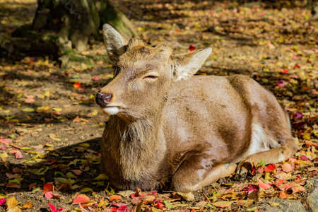deer resting in Nara forest Stock Photo