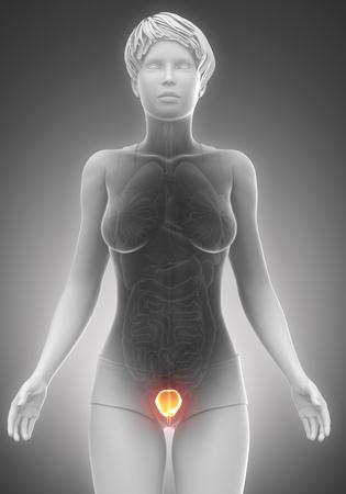 anatomy naked woman: Female bladder anatomy scan Stock Photo