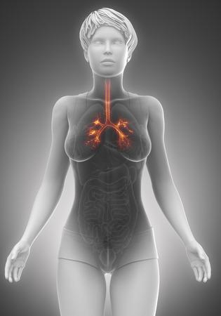 anatomy naked woman: Trachea anatomy female scan